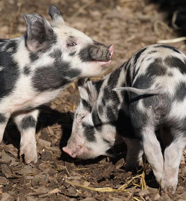 Pig Anyou MTC SAP Business One Success Story