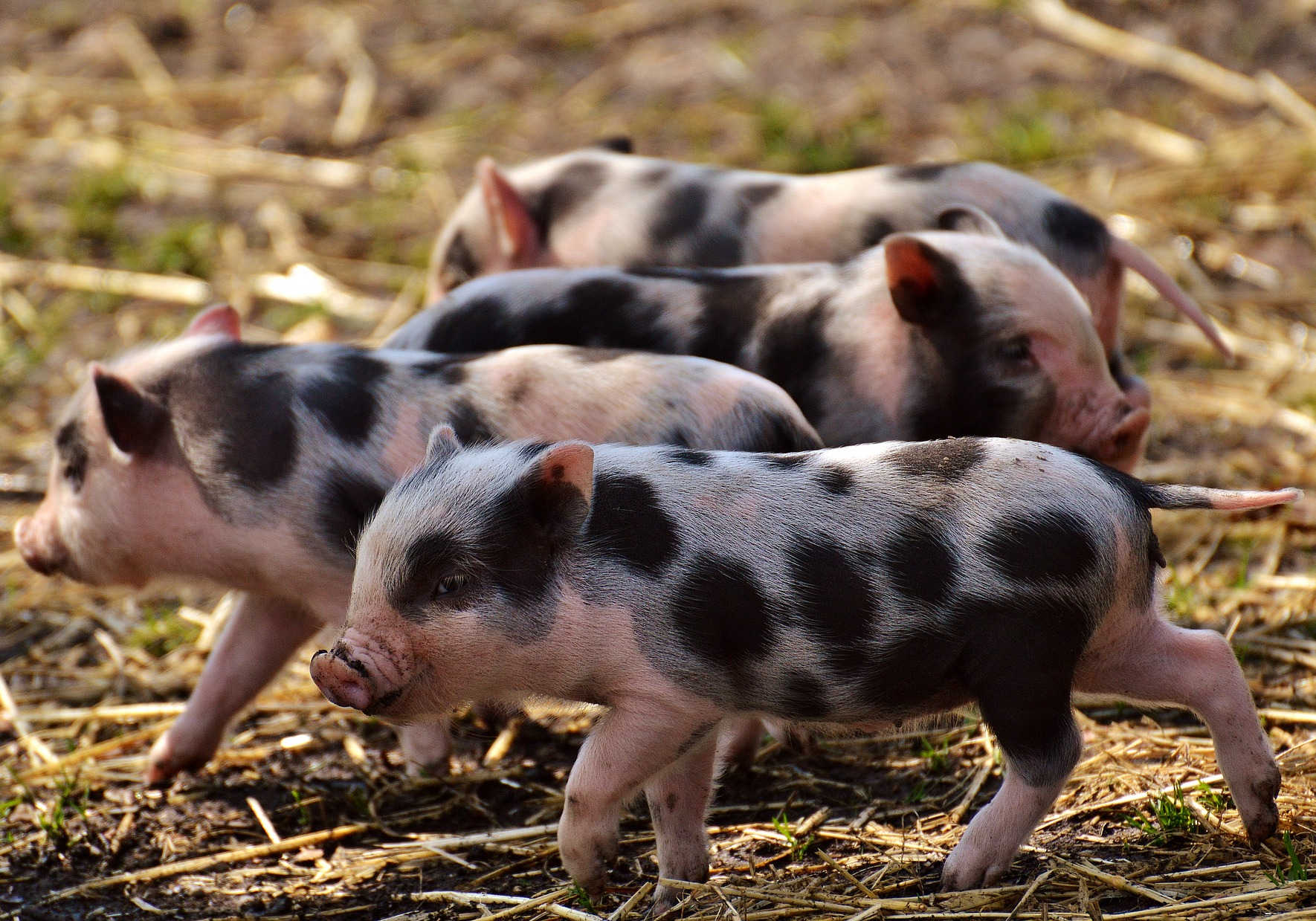 Piglet Anyou MTC SAP Business One Success Story